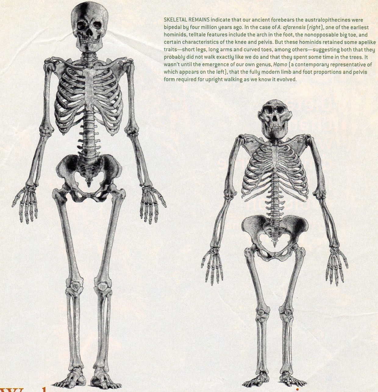 "remix of ""lucy compared to a human"" - thinglink, Skeleton"