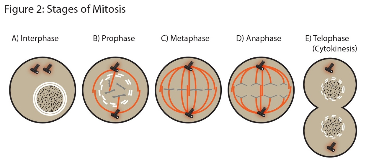 Mitosis Phases Labeled