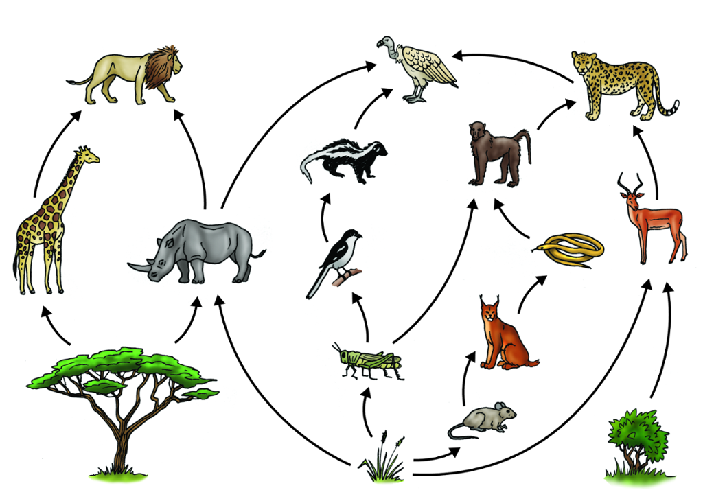 my interactive image thinglink diagram a simple food chain and label each trophic level simple savanna food chain diagram