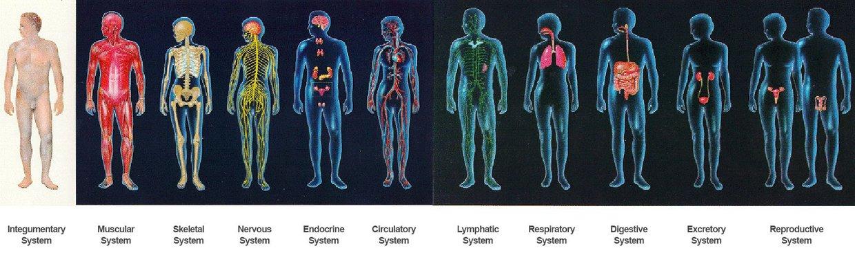 11 Human Body Organisms