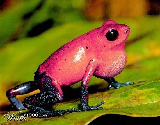 Pink frog - photo#29