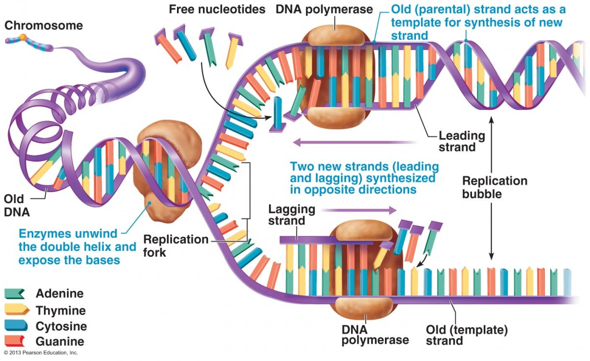 a summary of dna Mitochondrial deoxyribonucleic acid: the chemical inside the nucleus of a cell that carries the genetic instructions for making living organisms dna summary.
