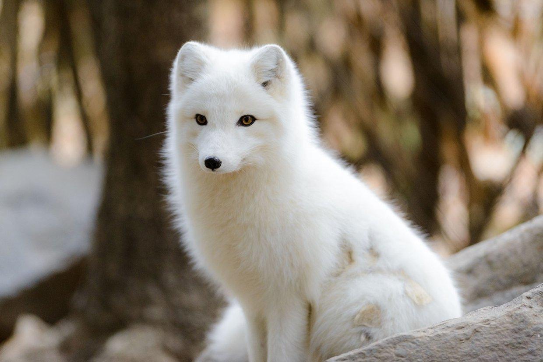 Arctic Fox Adaptations