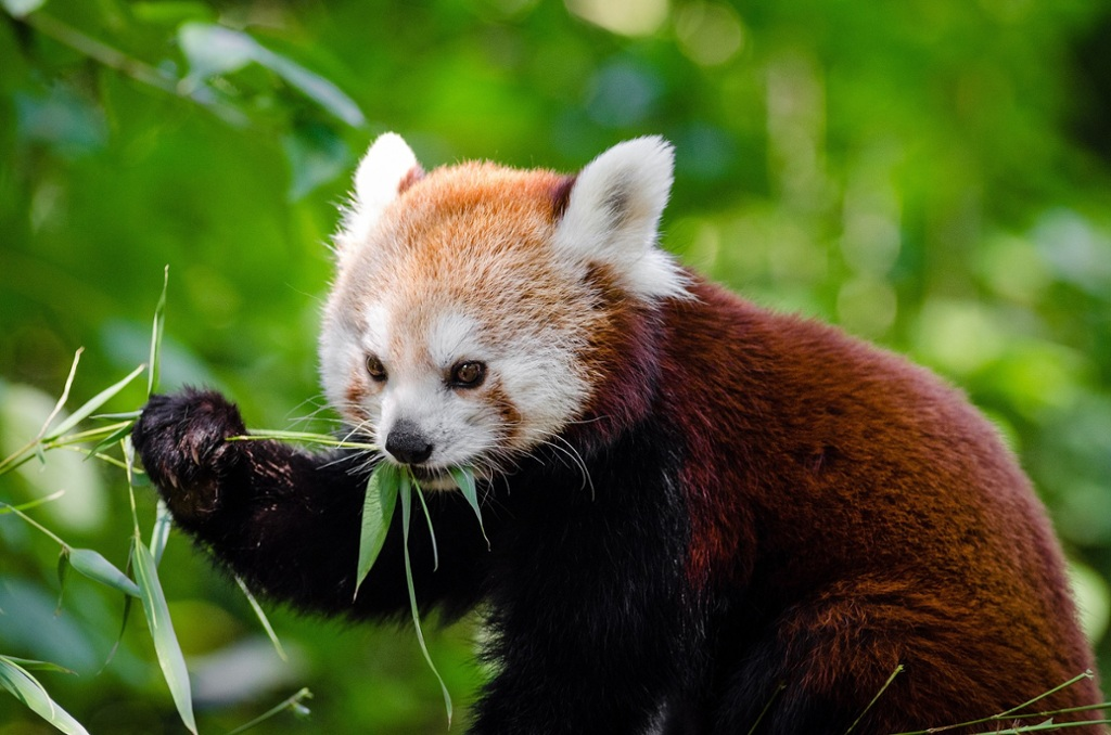 adaptations for red pandas thinglink