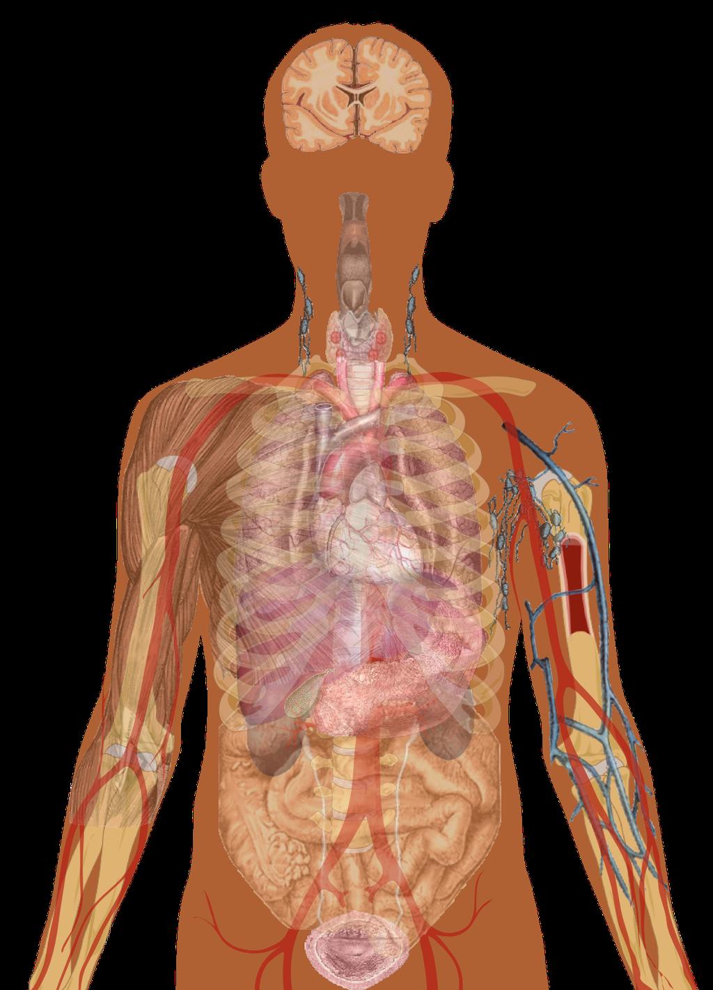 סרטונים קצרים שמסבירים איך גוף האדם עובד: גוף האדם