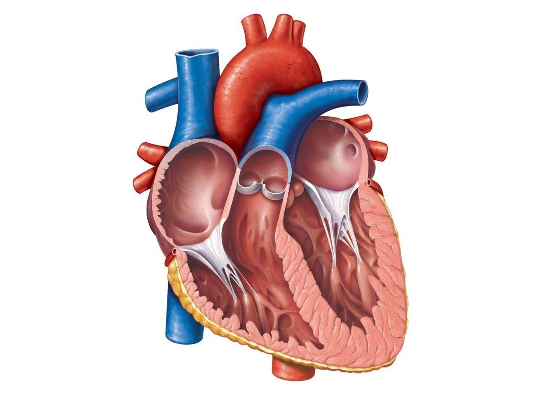 Heart anatomy - ThingLink