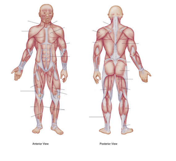 Whole Body Muscle Diagram