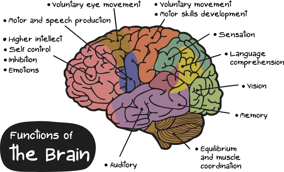 The Brains Functions by Crystal Montano and Mellanie ...