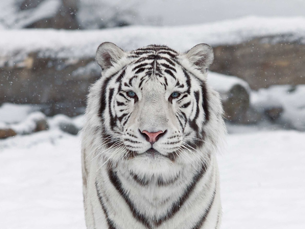 white tiger - thinglink