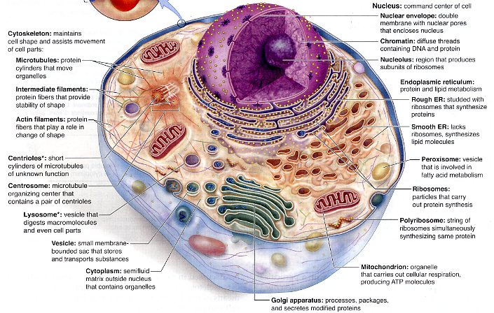 animal cell functions - photo #11