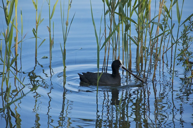 Its name is bald coot