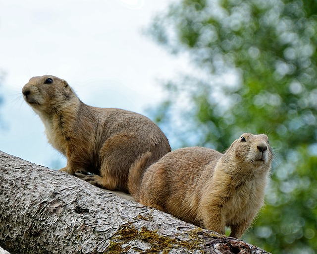 Its name is marmot., Its back is grey-brown, its belly is...