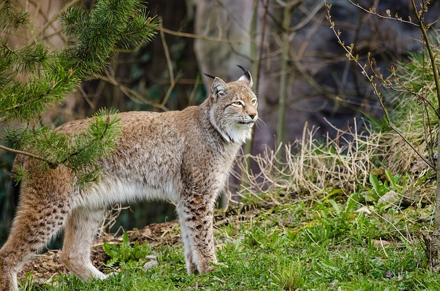 Its name is lynx., Its fur has dots and stripes., It's bi...