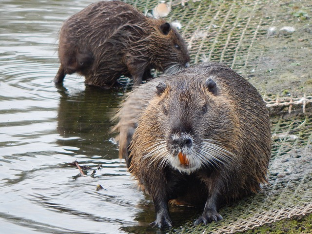 Its name is muskrat. (it's a kind of mouse), Its fur is b...