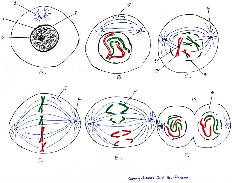 Mitosis Diagram