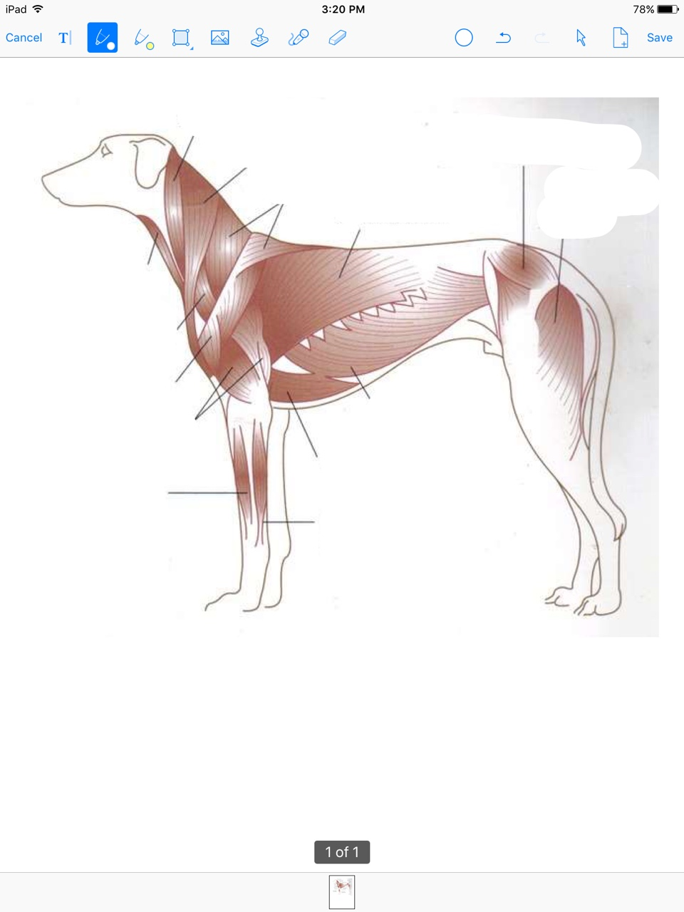 Dog Muscle Diagram
