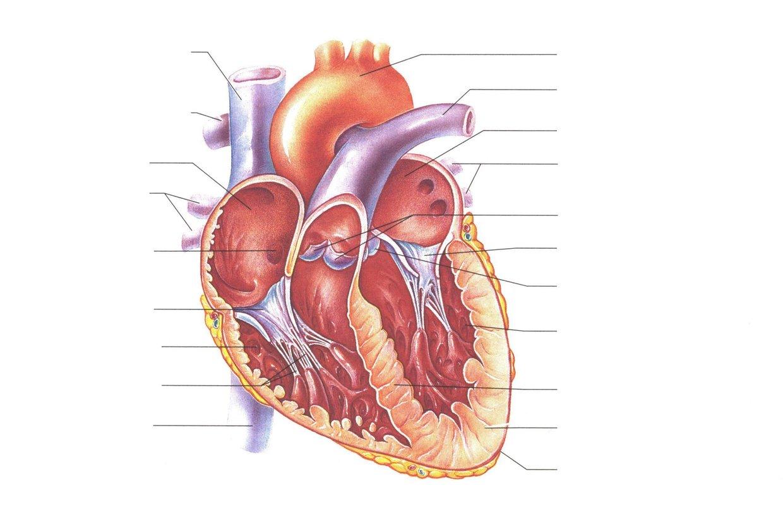Superior Vena Cava Aorta Left Pulmonary Artery Righ Thinglink