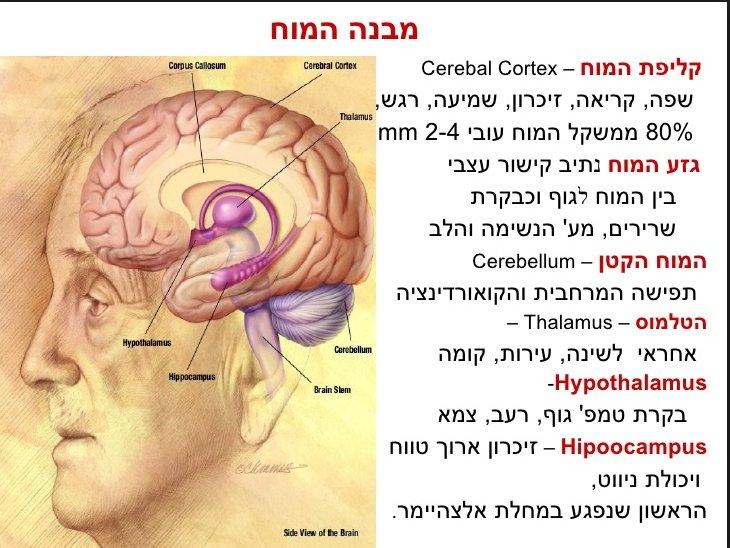 גזע המוח, המוח הקטן, מבנה כללי של המוח, היפותלמוס ותלמוס