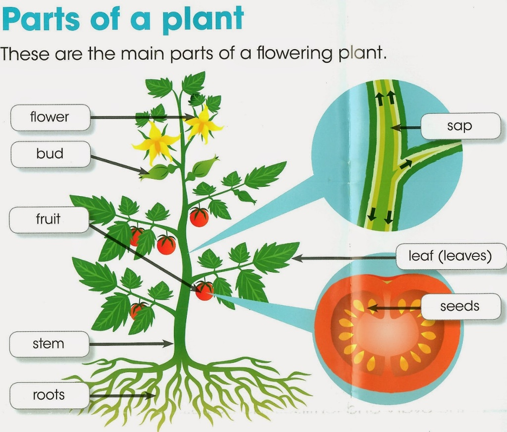 Tomato Plant Diagram For Kids