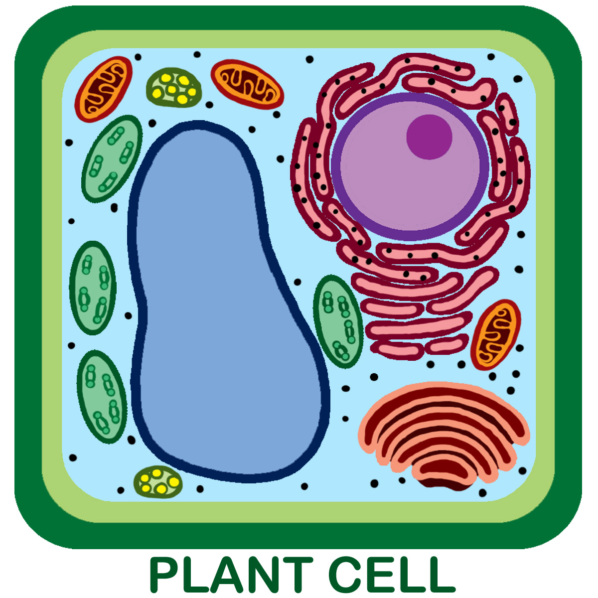 Remix Of Plant Cell Model Further Simple Diagram On Animal Wall
