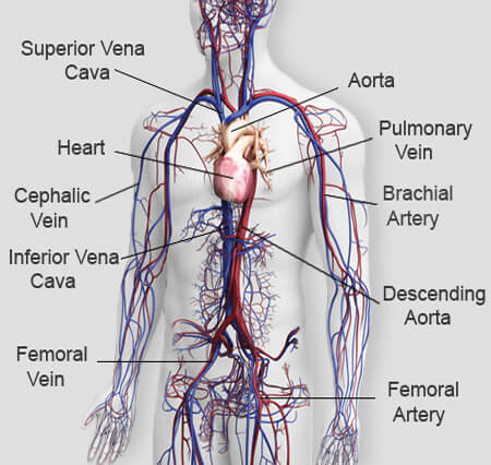This Is The Circulatory System It Tells You About The He