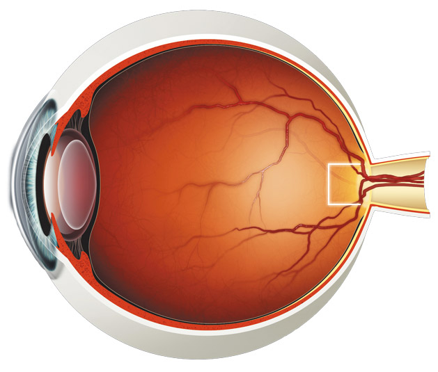 Cornea: It's a transparent and bulged part that contains ...