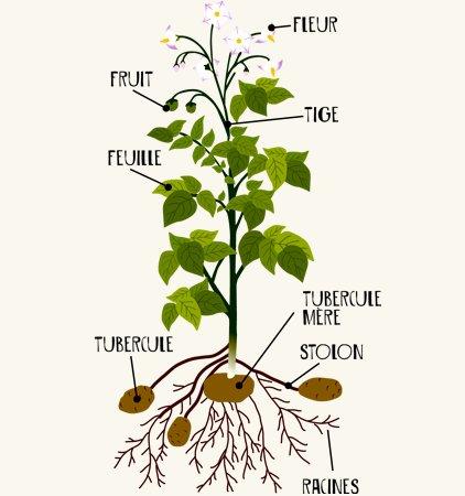 Remix of organes d 39 une plante fix e thinglink for Plante ulysse