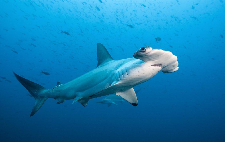 Scalloped hammerhead shark nathan diener thinglink for Shark tank fairy door