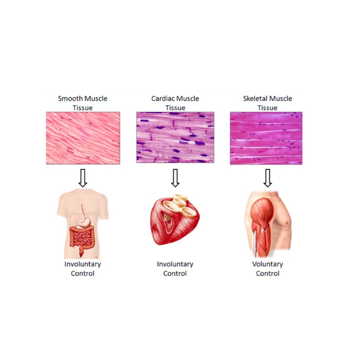 three type of muscle tissue