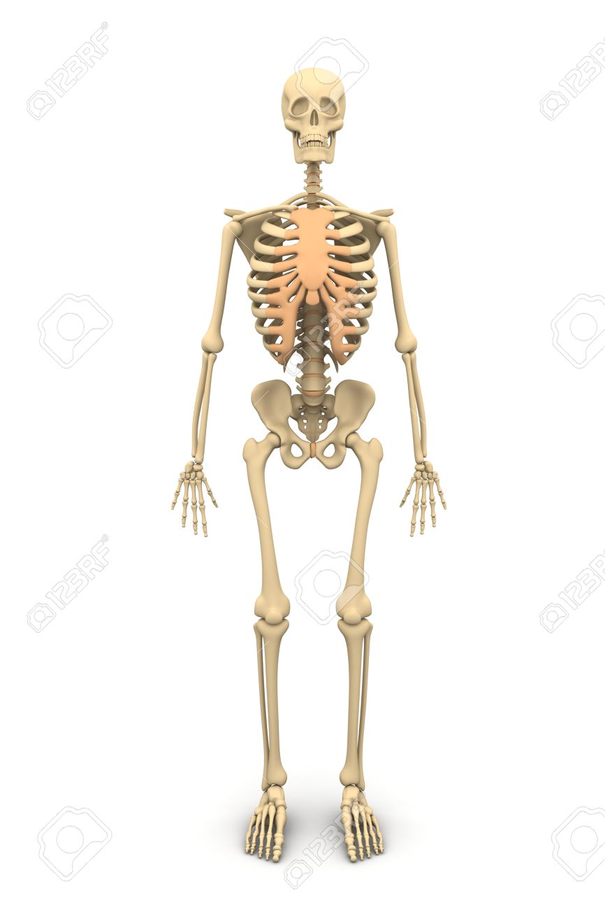 the skeletal system thinglink