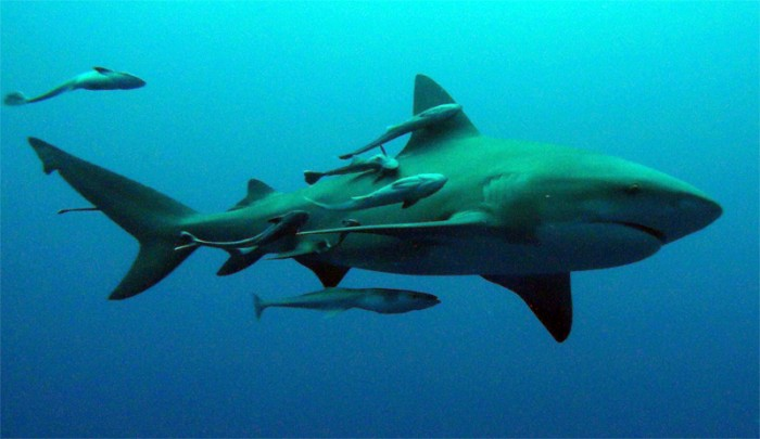 Sharks and Remora Symbiotic Relationship
