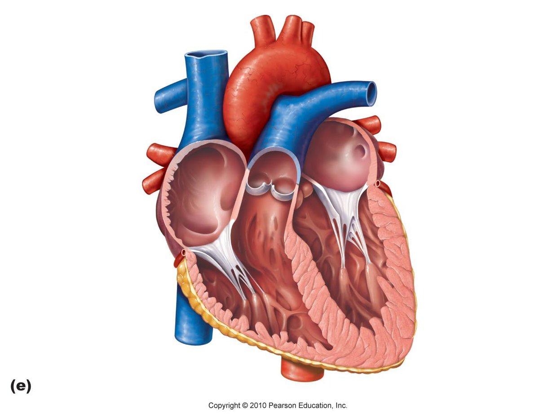 Aortic arch, pulmonary trunk, left pulmonary artery, left... - ThingLink