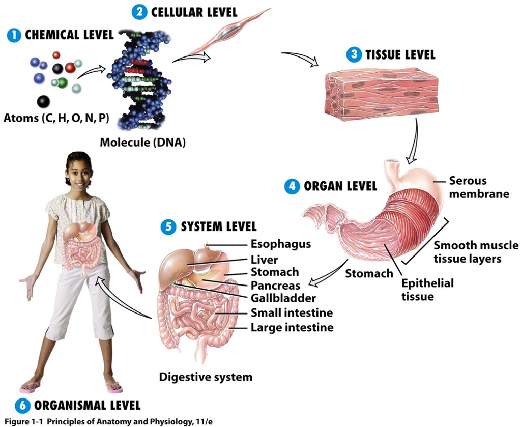 anatomy atoms cells Atoms, the tiny building blocks of matter, combine to form molecules such as water and proteins the heart and blood vessels circulate blood continuously to carry oxygen and nutrients to all body cells.