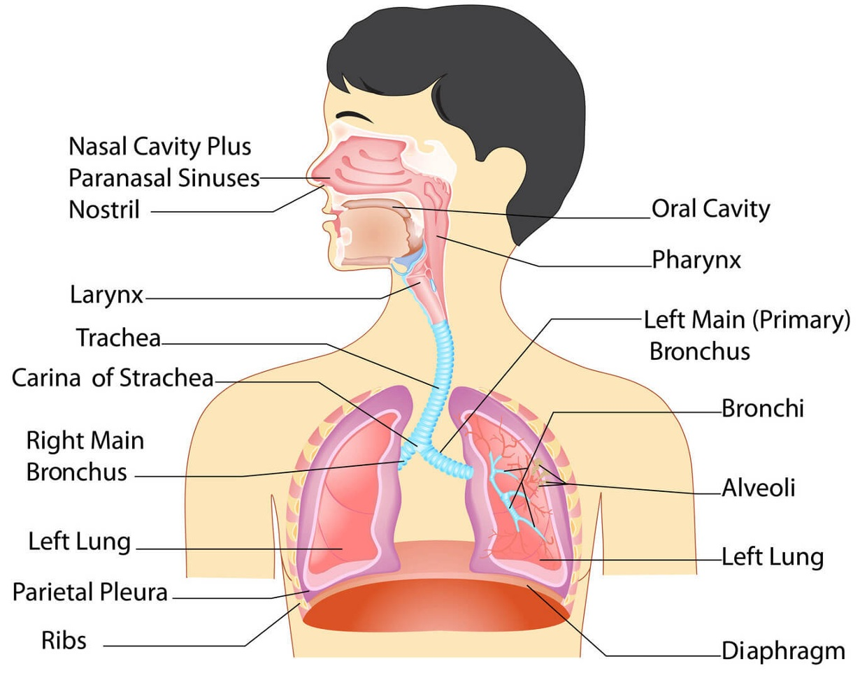 Respiratory System Compared To Circulatory System