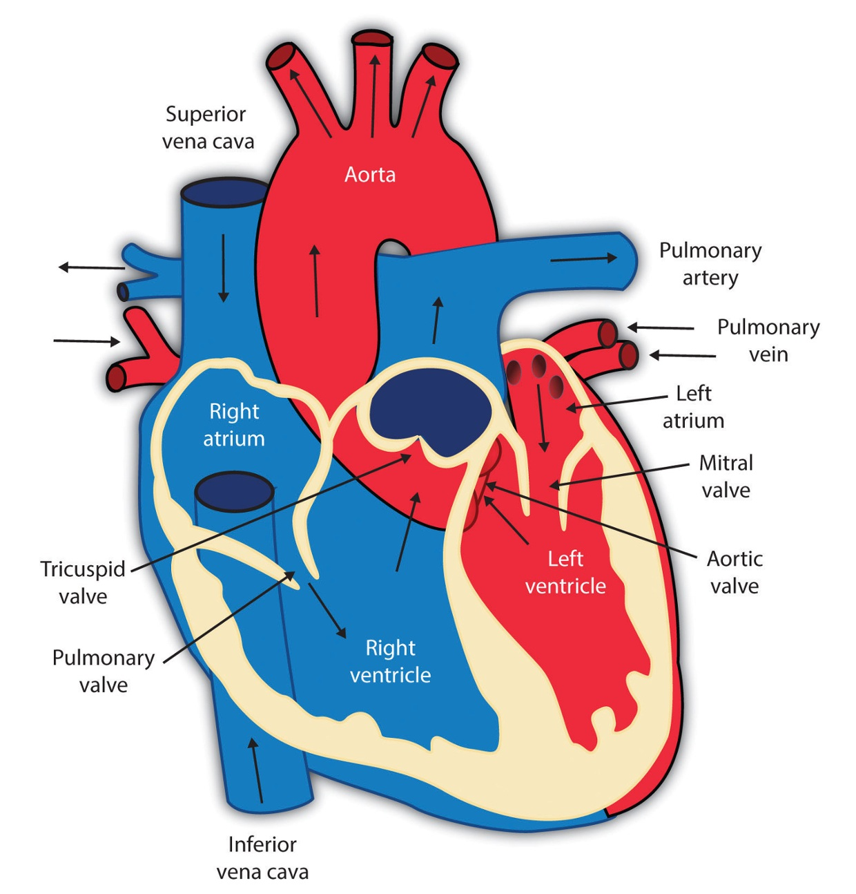 The Cardiovascular System And The Parts Of Your Heart Thinglink