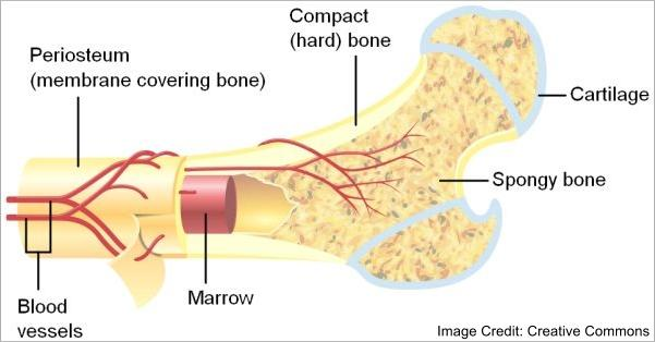 Anatomy Of A Bone