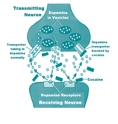 What Does Wellbutrin Do To Dopamine