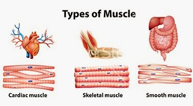 Cardiac muscle tissue is an extremely specialized form of...