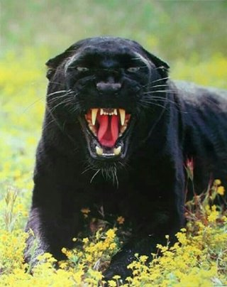 Panther Attacking Animal Black Panther -...