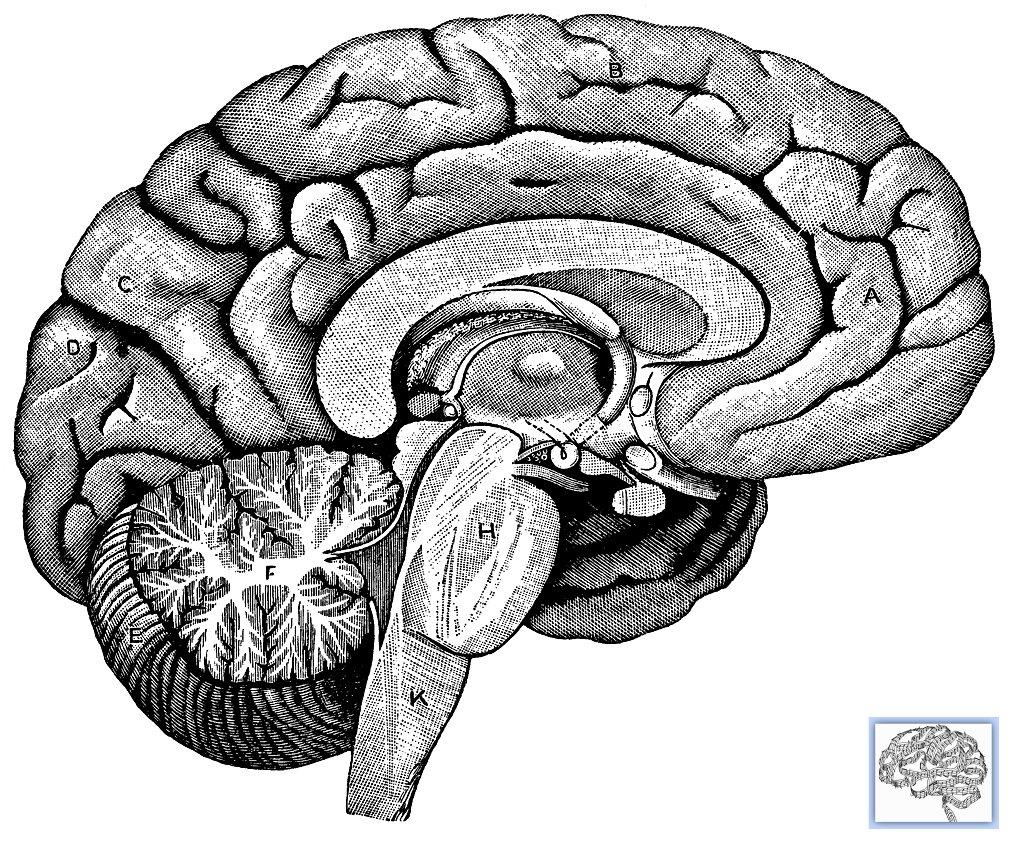 Occipital Lobe:, Cerebellum:, Brainstem:, Temporal Lobe:,...