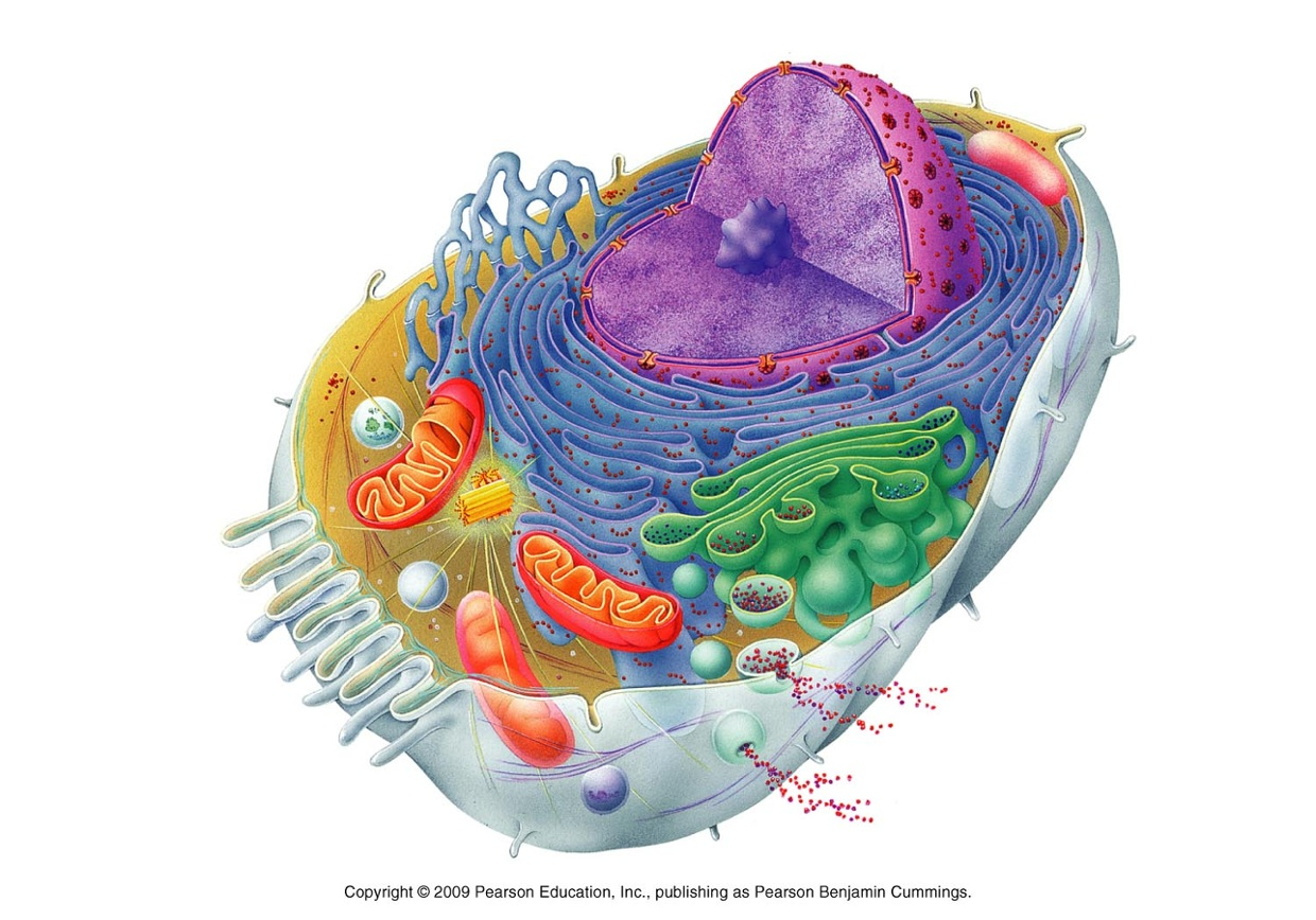 Eukaryotic Animal Cell Parts Thinglink