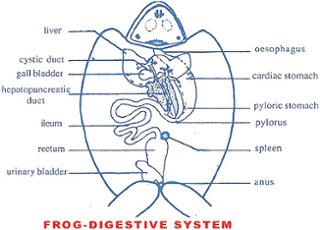 The digestive system of frog consists of digestive tract thinglink the digestive system of frog consists of digestive tract and the accessory organs which help to process the food consumed into small molecules nutrients ccuart Images
