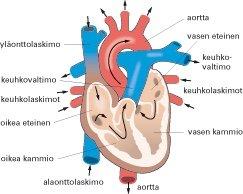 Sydämmen Rakenne