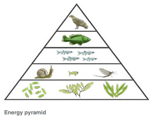Energy Pyramid Percentages Energy Pyramid...