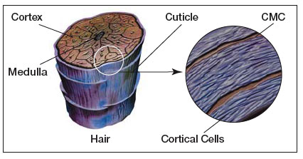 structure of human hair. Black Bedroom Furniture Sets. Home Design Ideas