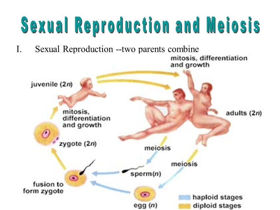 Where Do Sex Cells Form 33