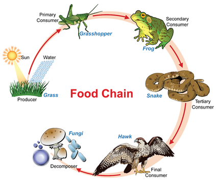 Define Detritus Food Chain