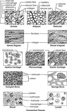 connective tissue thinglink. Black Bedroom Furniture Sets. Home Design Ideas