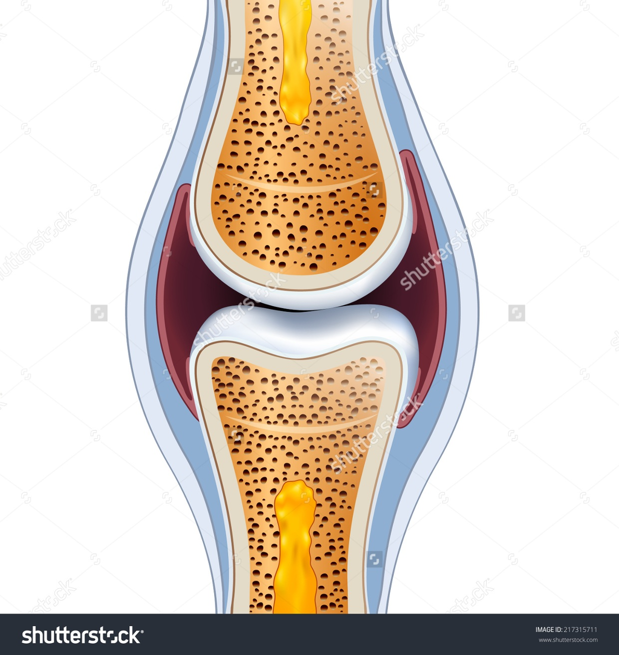 Ligaments Synovial Membrane Joint Capsule Synovial Fl