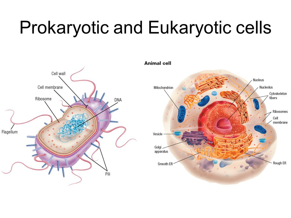 comparing prokaryotic and eukaryotic cells Prokaryotic vs eukaryotic cells prokaryotic vs eukaryotic cells by dr carmen rexach mt san antonio college microbiology.